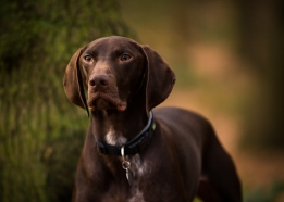 dog_photographer_shropshire_pointeraner-21