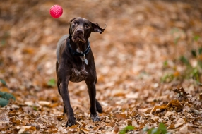 dog_photographer_shropshire_pointeraner-24