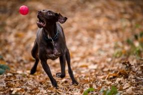 dog_photographer_shropshire_pointeraner-25