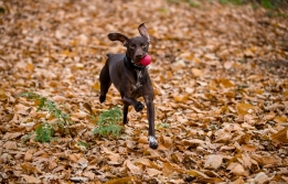 dog_photographer_shropshire_pointeraner-34