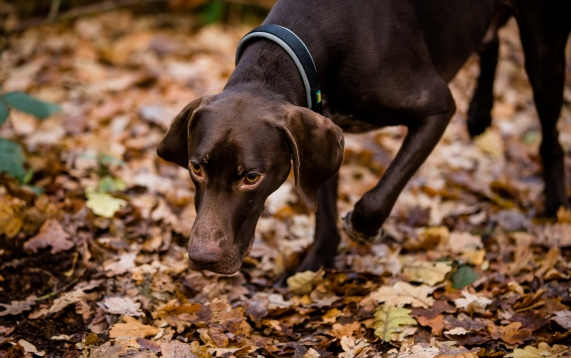 dog_photographer_shropshire_pointeraner-49